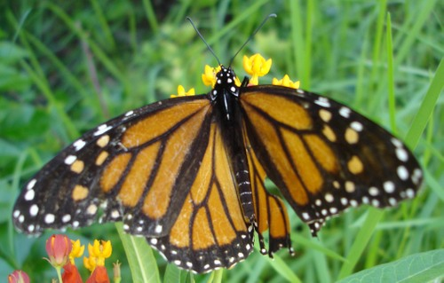 Elderly_monarch_1