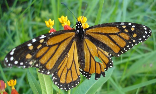 Elderly_monarch_2
