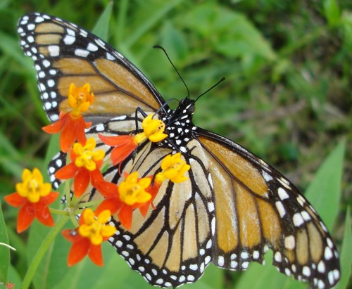 Elderly_monarch_4