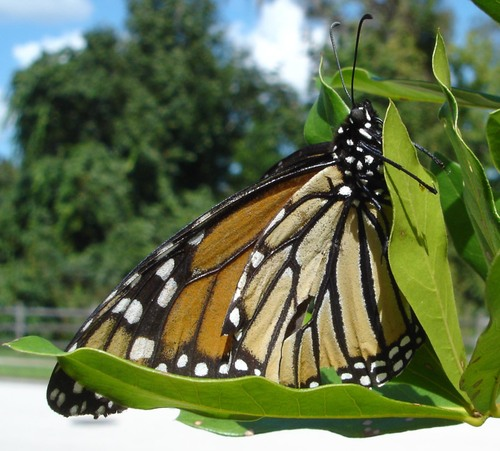 Elderly_monarch_5