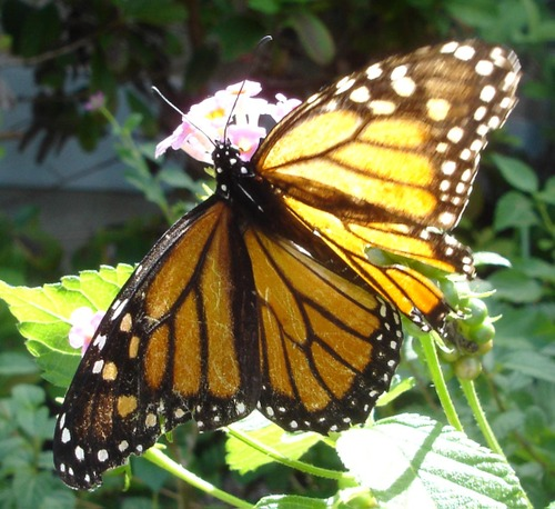 Elderly_monarch_6_2