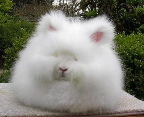 http://josboys.typepad.com/blog/images/angora_rabbit.jpg