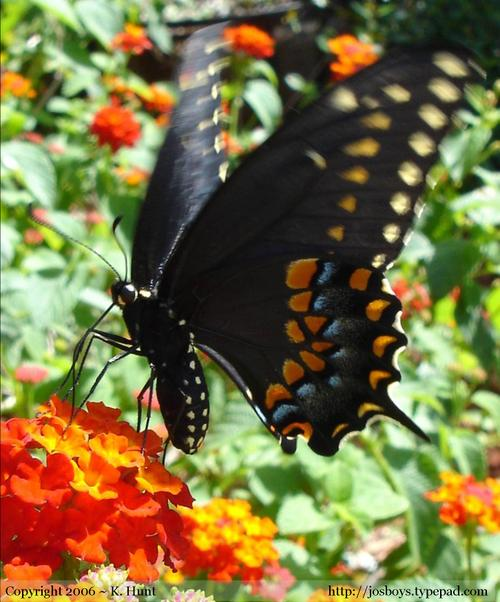 Eastern_black_swallowtail_1
