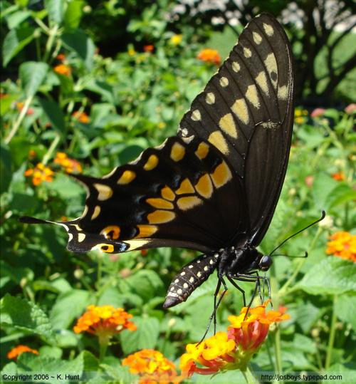 Eastern_black_swallowtail_2