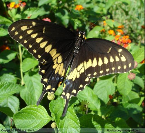 Eastern_black_swallowtail_3