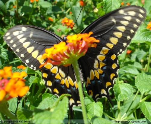 Eastern_black_swallowtail_4