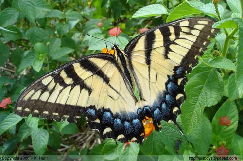 Eastern_tiger_swallowtail_1_1