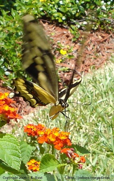 Giant_swallowtail_1_92506