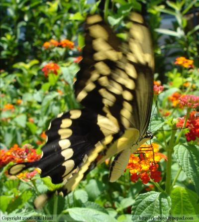 Giant_swallowtail_2_92606