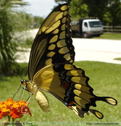 Giant_swallowtail_butterfly_3_92606