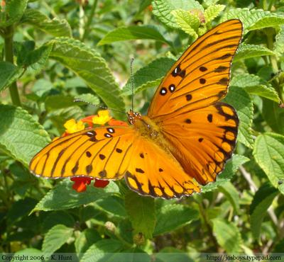 Gulf_fritillary_from_above