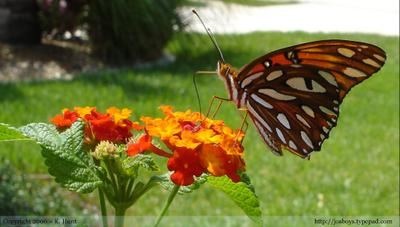 Gulf_fritillary_from_side_1
