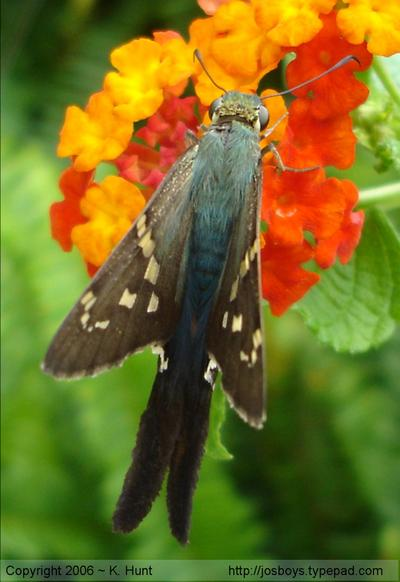 Long_tailed_skipper_1