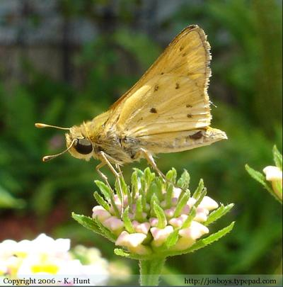 Male_fiery_skipper