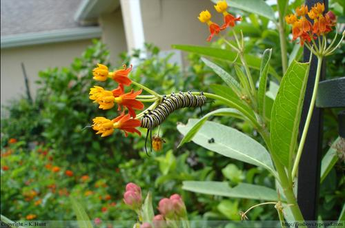 Monarch_caterpillar_hanging_upside_down_