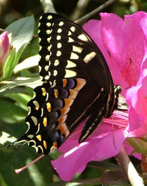 Palamedes_swallowtail_1