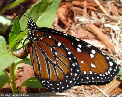Queen_butterfly_laying_eggs_on_milkweed_