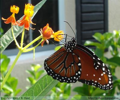 Queen_butterfly_nectaring_on_milkweed_fl