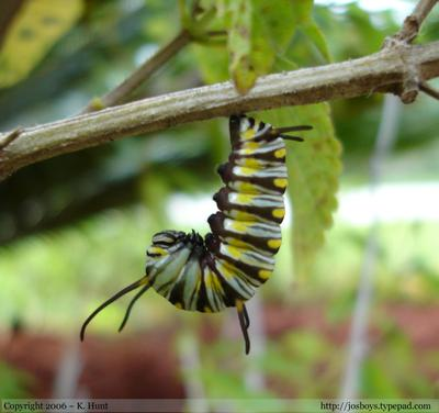 Queen_caterpillar_hanging_upside_down