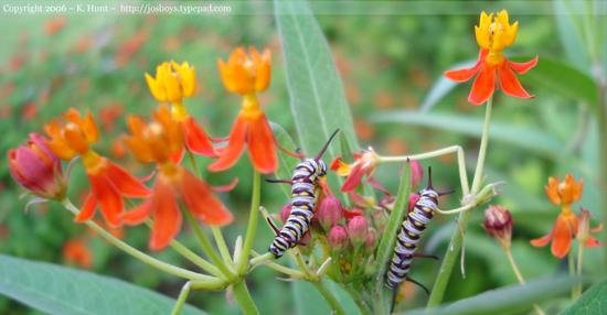 Queen_caterpillars_two_on_milkweed_flowe_2