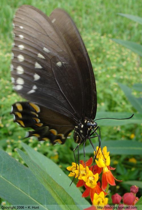Spicebush_swallowtail_2