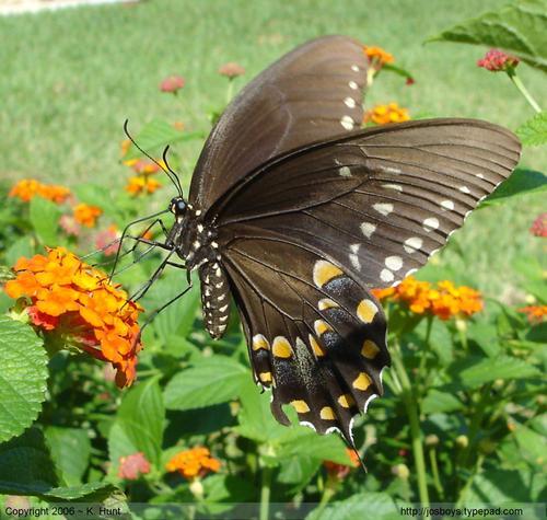 Spicebush_swallowtail_4