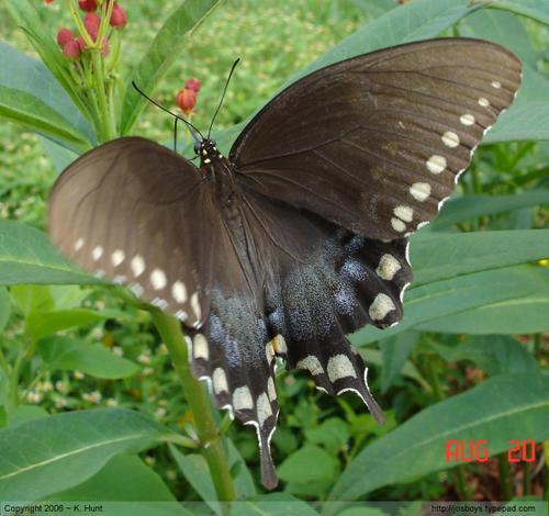 Spicebush_swallowtail_7_needing_crissy
