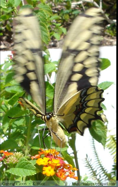 Swallowtail_closeup_1_copyrighted_2_smal