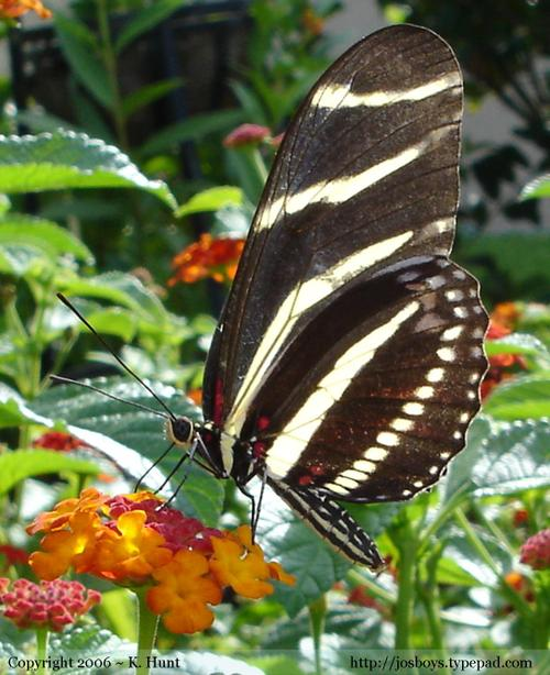 Zebra_longwing_butterfly_1_1