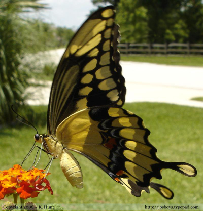 Giant_swallowtail_butterfly_3_92606_corr
